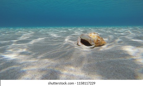 Seashell Laying On A White Sandy Seabed In The Blue Aegean Sea In Greece With Sunlight Reflections. Semicassis Granulata Undulata.
