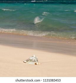 Seashell on a beach in the Caribbean Sea