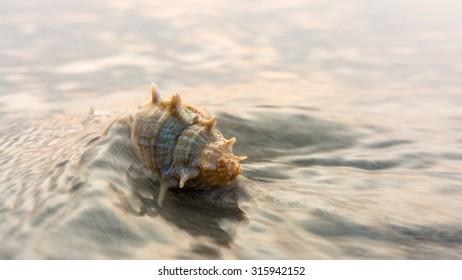 Seashell on the beach. Clam seashell in waves on beach.
