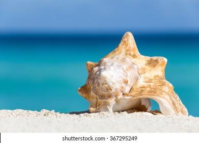 Seashell on caribbean sandy beach, travel concept