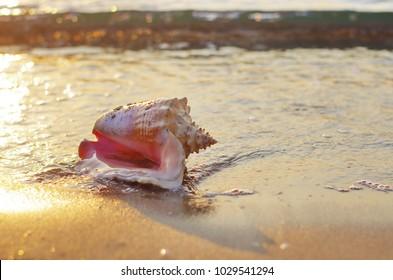 Seashell on the coast at sunrise. Big seashell on the beach close up . Queen conch (Lobatus gigas)