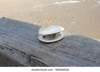 Seashell on Wooden Groyne at the Beach