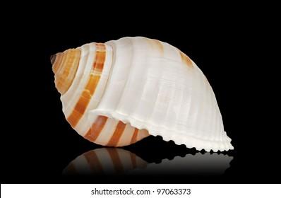 Seashell of Tonna Sulcosa, large sea snail.