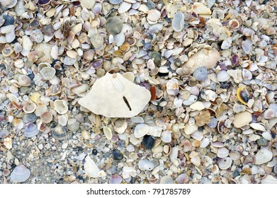 Seashells with barnacles and a dead crab stranded on a sandy beach after a storm on the Gulf of Mexico at St. Pete Beach, Florida