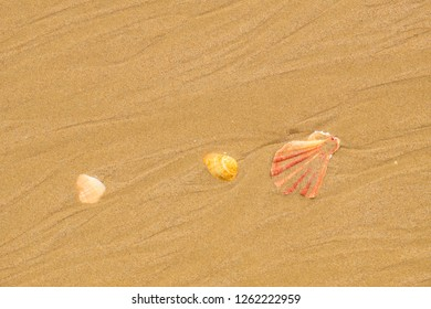 Seashells on a sandy beach in Albufeira. Algarve, Portugal