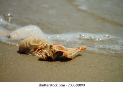 Seashells Resting Upon Beach in the Outer Banks of North Carolina
