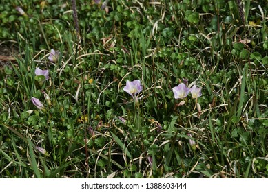 Seashore false bindweed (Calystegia soldanella)