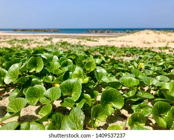 Seashore false bindweeds at beach in Shimane, Japan