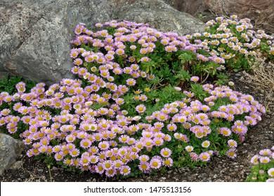 Seaside Daisy - Erigeron glaucus Seaside Fleabane, Beach Aster, or Sea Breeze Native of west coast of USA