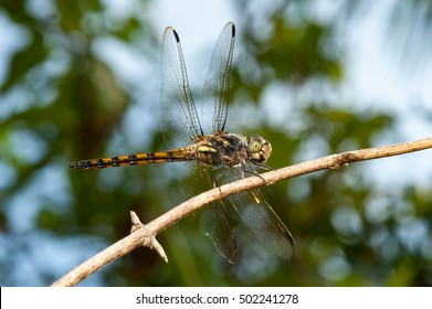 Seaside Dragonlet Dragonfly (Erythrodiplax berenice) descend and stay still on a twig diagonally isolated with busy, soft, white and greenish background
