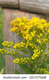 seaside goldenrod along a fence