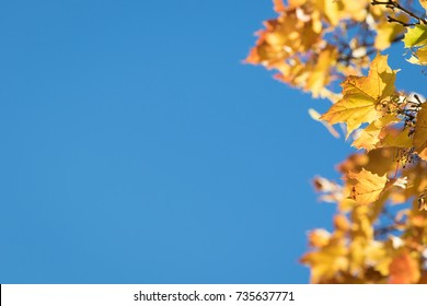 Season autumn nature background, fall background with maple leafs and blue sky, fall season. Autumn leaves. Season background.