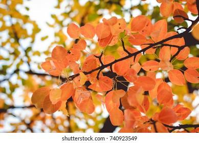Season of beautiful autumn red leaves on tree