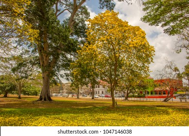 In the season of the bright yellow poui trees the savannah in the middle of port of spain trinidad is covered in flowers.