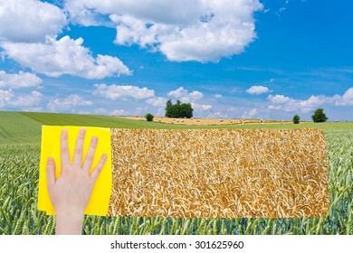 season concept - hand deletes green wheat field by yellow cloth from image and yellow ripe wheat plantation is appearing