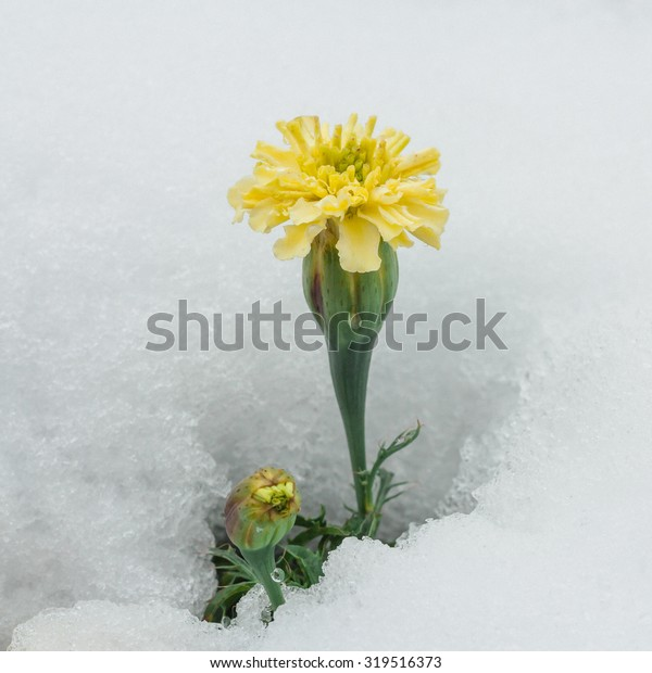 Season confusion:  Macro of a yellow chrysanthemum surrounded by white snow.