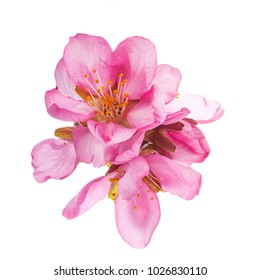 Season of flowering almonds. Spring . Beautiful pink flowers and buds of almonds on branches without leaves. Isolated on white background