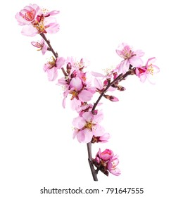 season of flowering almonds, spring. pink almond flowers on branches without leaves isolated on white background