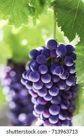 Season of grapes. Close-up of a branch of a mature grapes. Vertical format