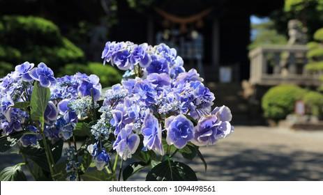season of hydrangea Japan