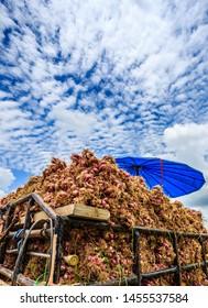 Season of shallots harvesting in Thailand