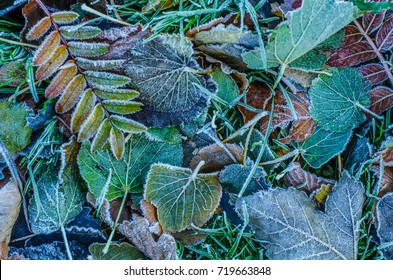 Seasonal Background Texture Of Frosty Leaves In Winter
