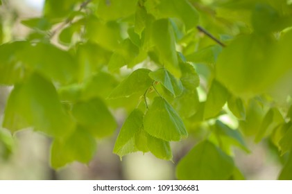 seasonal background of young tender green lime tree leaves