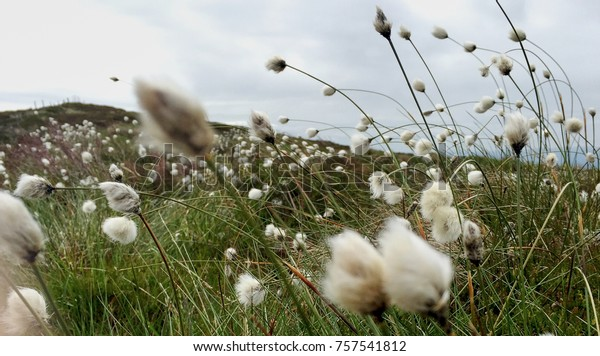 Seasonal bog cotton flowering on top of Ballycuggaran