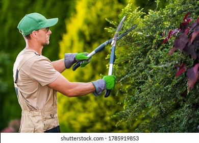 Seasonal Garden Plants Trimming by Professional Caucasian Gardener. Large Pro Scissors in Action. Landscaping and Gardening Industry Theme.