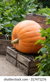 seasonal gardening - one big orange pumpkin set on wooden chips in old fruit crates in genuine decorative garden full of greens