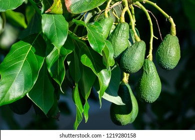 Seasonal harvest of green orgaic avocado, tropical green avocadoes riping on big tree close up