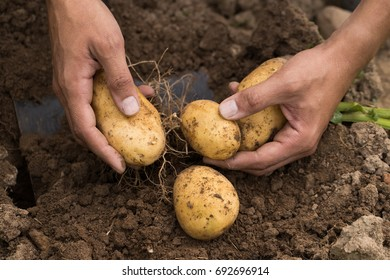 Seasonal Harvesting. Hands Of Young Male Farmer Picking Fresh Yellow Potatoes On Field Outdoors.