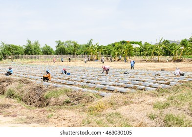 Seasonal more worker in agricultural production sector in thailand