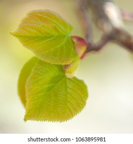 seasonal spring background with opening lime tree leaves