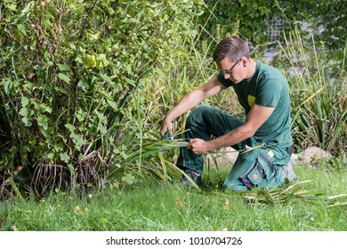 seasonal work of a gardener cutting a red current plant