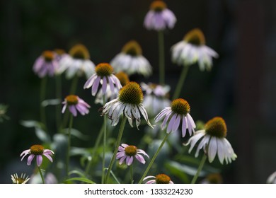 Seasons Flora Mid Summer Season Purple Coneflower