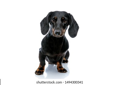 seated adorable Teckel puppy dog with black fur curiously looking at the camera on white studio background