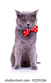 seated big english cat wearing a red bow tie  on a white background
