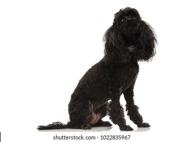seated black poodle looks up at something on white background