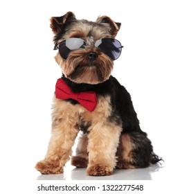 seated classy yorkie wearing sunglasses looks to side while sitting on white background