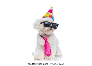 seated cute bichon dog wearing sunglasses, pink tie and a birthday hat on white background