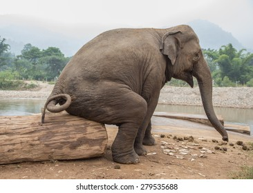 Seated Elephant At An Elephant Nature Park In Thailand Funny Photo Of Asian Wild Elephant