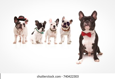 seated french bulldog wearing red bowtie in front of a group of french bulldogs friends on white background