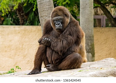 Seated Gorilla Looking into the Camera at the Gladys Porter Zoo, Brownsville, Texas