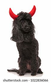 seated poodle wearing devil horns looks to side on white background