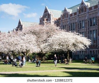 Seattle, USA - March 20, 2018: Cherry trees in full bloom at the University of Washington campus