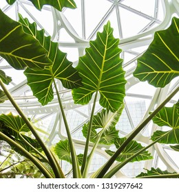 Seattle, Wa circa February 2019 Interior views of the Amazon world headquarters Spheres green house terrariums, elephant ear plant leaves under windows.