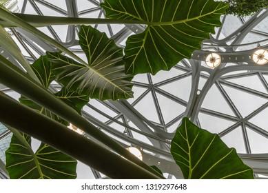 Seattle, Wa circa February 2019 Interior views of the Amazon world headquarters Spheres green house terrariums, many leaves under sky windows.