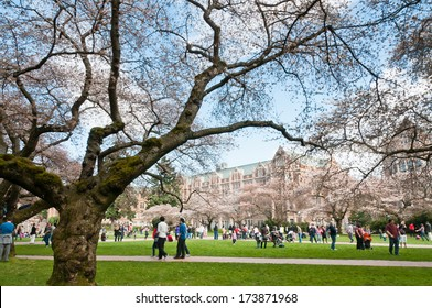 SEATTLE, WA - MARCH 24, 2012: People among Yoshino Cherry trees (Prunus x yedoensis) and collegiate gothic style buildings on Liberal Arts Quad on University of Washington campus.