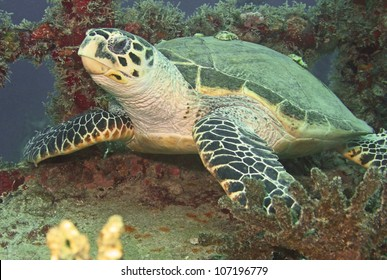 A seaturtle resting on a shipwreck in the Florida Keys